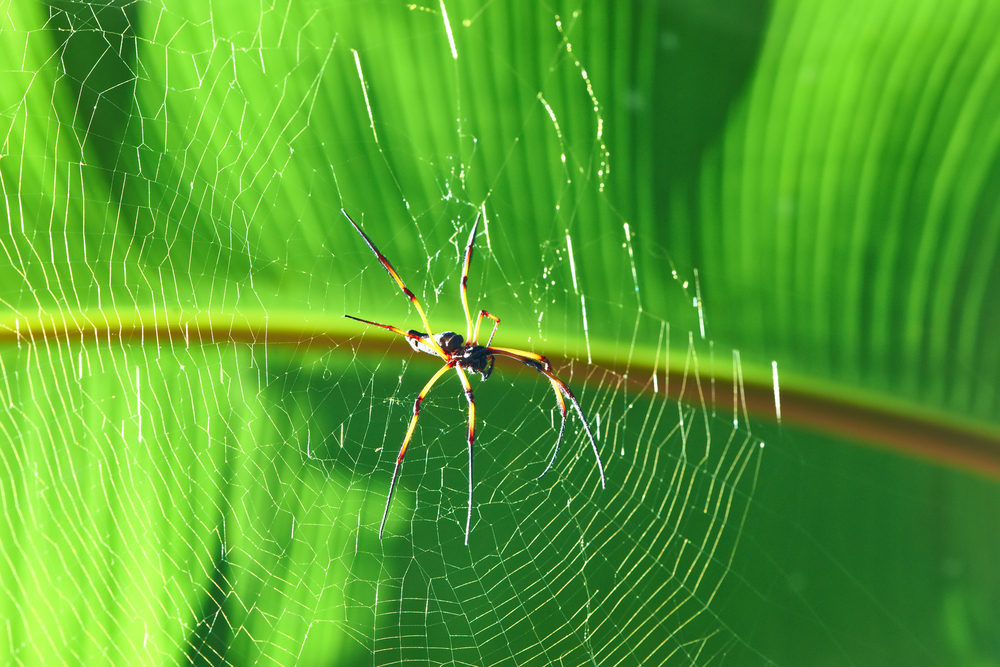 Giant wood spider – Nephila maculata / nephila pilipes